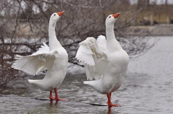 Danza del Lago de los Cisnes